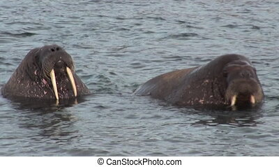 Two walruses close up relax in water of Arctic Ocean in...