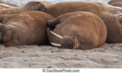 Group of walruses relax on shore of Arctic Ocean in...