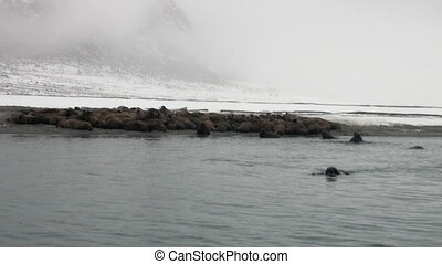 Group of walruses relax near water on snow shore of Arctic...