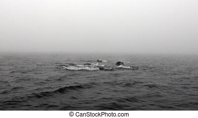 Group of walruses are floating in water in fog of Arctic...