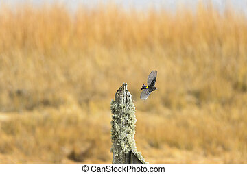 Yellow-rumped Warbler flight stump - Yellow-rumped Warbler...