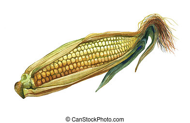 Corn, maize. Hand drawn watercolor painting on white...