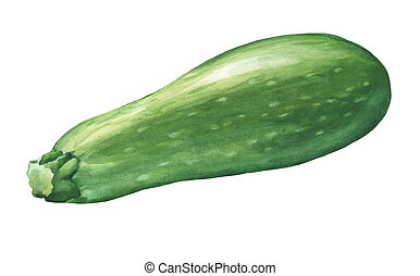 Marrow, zucchini. Hand drawn watercolor painting on white...