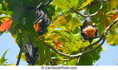 Flying foxes hanging on a tree branch and washing up - Three...