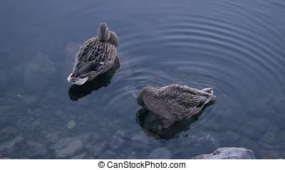 Duck hunt for fish between stones