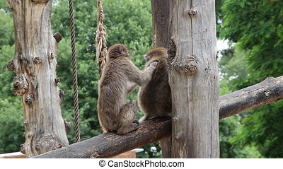 An adult olive baboon grooms a juvenile - Shot of An adult...