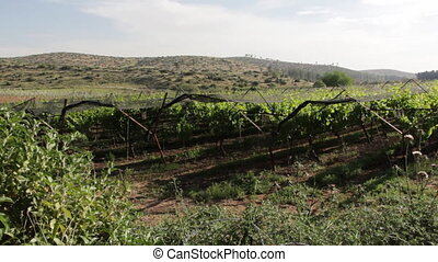 Agricultural crop areas filled with large vineyards - Shot...