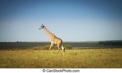 African Giraffe In The Wild - Shot of African Giraffe In The...