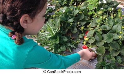 adorable kid on the farm collecting strawberries - Shot of...