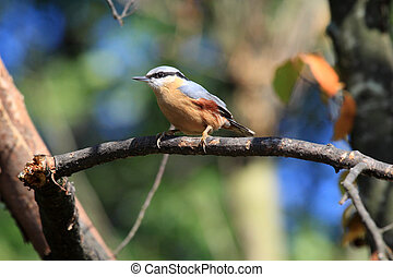 The Eurasian Nuthatch, Sitta europaea