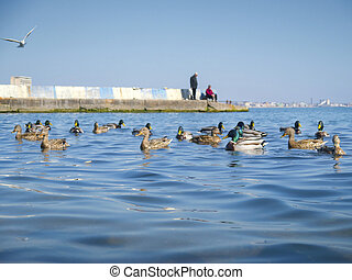 Nice seagulls and cute ducks on the sea - The nice seagulls...