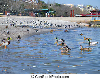 Beautiful ducks and seagulls on the sea - The beautiful...