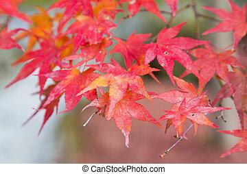Red maple leaf on tree