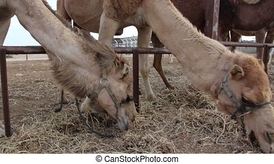four camels eating - Shot of four camels eating
