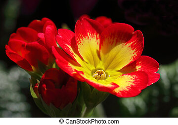 Red primrose flower with a yellow heart