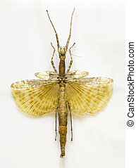 Examples locusts in Laboratory - Examples locusts with wings...