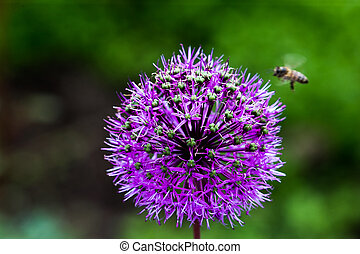 Onion Flower - Onion (Allium Giganteum) flower blooming
