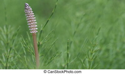 Wood horsetail (Equisetum sylvaticum), shot with shallow DOF...