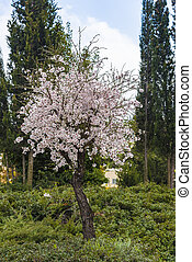 View of almond tree blooming with beautiful flowers in february in the Algarve region, Portugal.