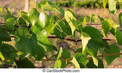 Juicy petals of grapes