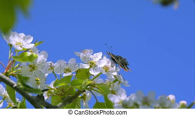 Butterfly on a pear tree flower. European pear or Pyrus...