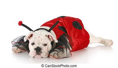 dog dressed up like a lady bug - english bulldog wearing...
