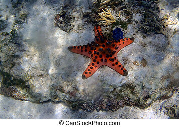 Big sea star under the sea close to a giant clam, Thailand