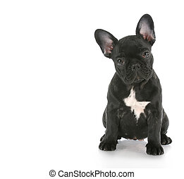 french bulldog sitting looking at viewer with reflection on...