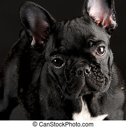 french bulldog portrait - french bulldog puppy portrait on...