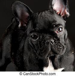 francés, Bulldog, retrato