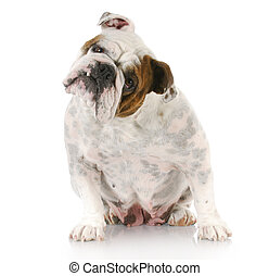 english bulldog - female english bulldog sitting with...