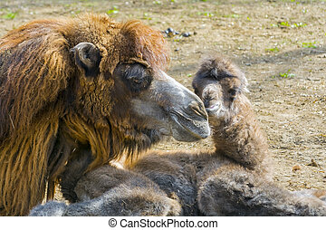Newborn Bactrian camel - Bactrian or two-humped camel calf -...