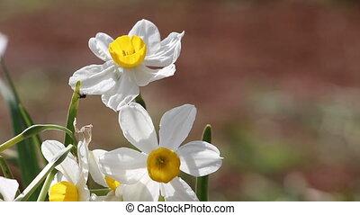 Daffodils - Shot of Daffodils