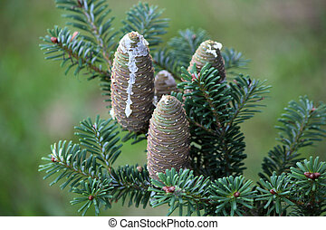 Pinecones on a branch of a pine and covered with sap