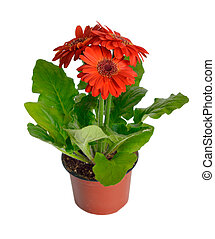 Gerbera in a garden pot isolated.