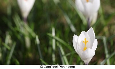 Time lapse of white crocus opening its blossom