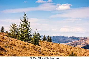 pine forest in springtime landscape - Spruce forest at...