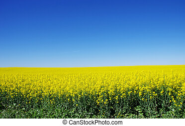 Canola field at south of Portugal