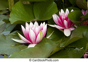 waterlily - Shot of the white representative water lily on...