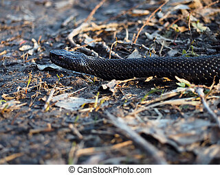 Black dangerous snake at the forest at the leaves