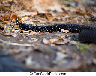 Black dangerous  snake at the forest at the colorfull leaves