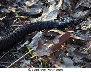 Black dangerous snake at the forest with red tongue