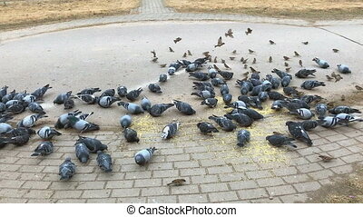 Flock of pigeons and sparrow eating millet outdoors