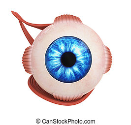 Human Eye Extraocular Muscles isolated on white background....