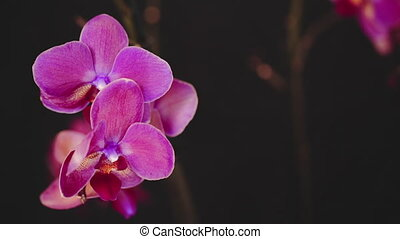 Beautiful pink orchid on black background. Slow motion