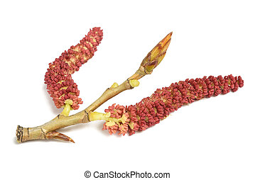 Red poplar catkins; - aments and buds of red poplar twig...