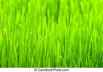 Wheatgrass - Close up shot of organic wheat grass