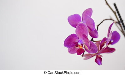 Phalaenopsis orchid flowers isolated on white background.