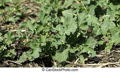 Young Rutabaga Plant on Farm Closeup - Close up shot of a...