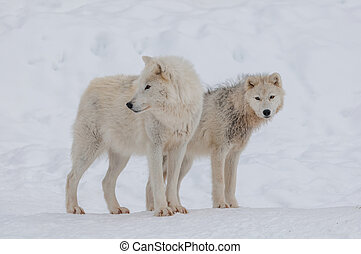 Arctic wolf in the snow.